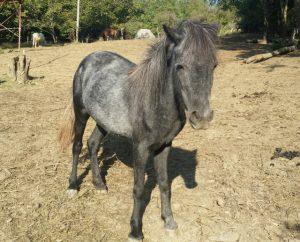 I pony dalla Valle del Bò: Ellis
