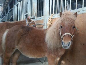 Pony della Valle del Bò: Rosetta