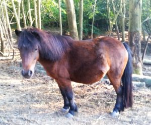 pony-valle-del-bo-zingara